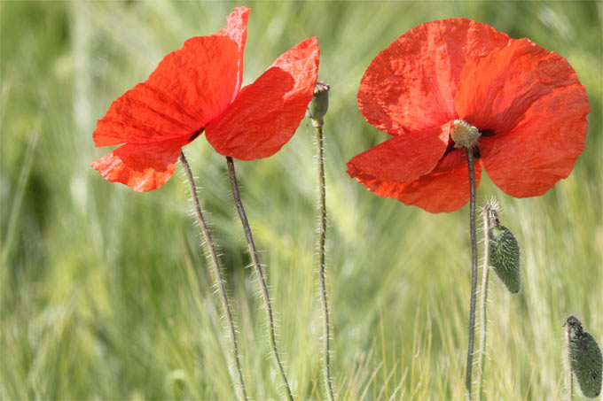 Klatschmohn - Foto: Helge May