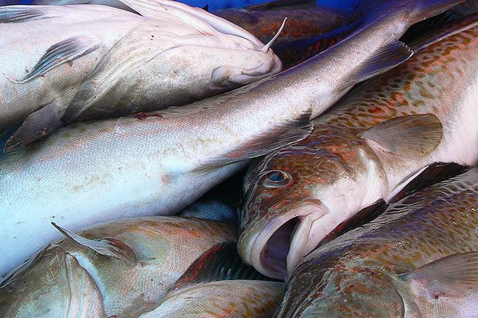 Bedrohte meeresfische naju schleswig holstein for Lebensraum fische