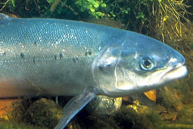 Atlantischer Lachs (Salmo salar) - Foto: William Hartley/USFWS