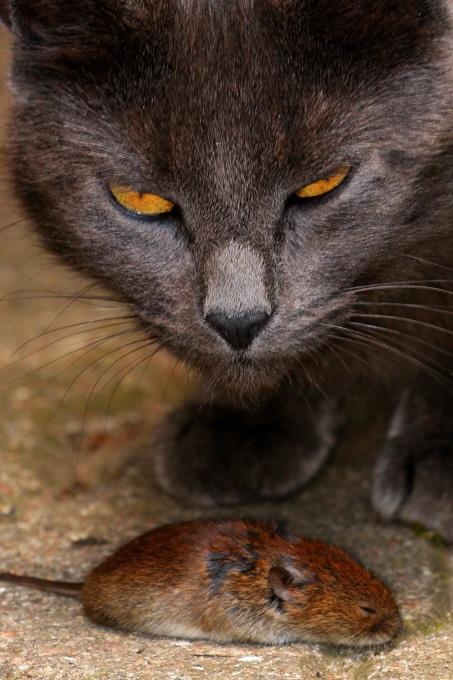 Rötelmäuse haben viele Fressfeinde - Foto: NABU / Carsten Pusch