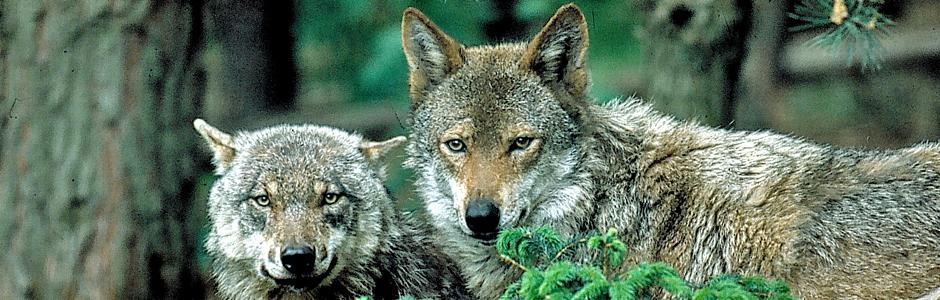 wolf in schleswig-holstein