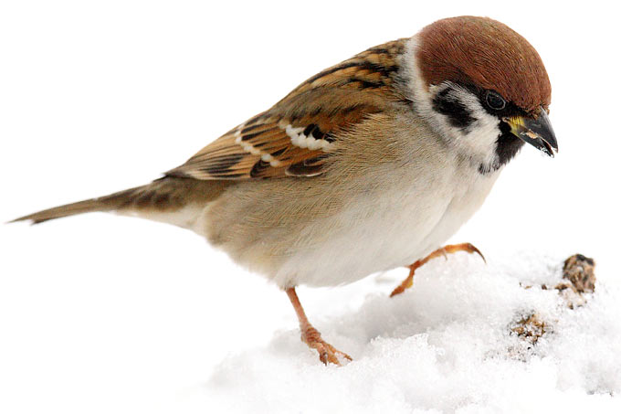 Stunde Der Wintervogel Ergebnisse 2011 Nabu Schleswig Holstein
