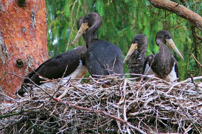 Junge Schwarzstörche im Nest, von einem für die Natur unverträglichen Ausbau der Windenergie bedroht. - Foto: Michael Rüttiger